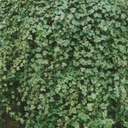 Hedera Elegantissima