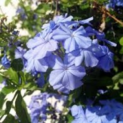 Plumbago Carpensis