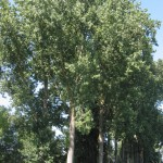 Populus Canadensis