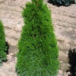 Thuja Occidentalis Emerald